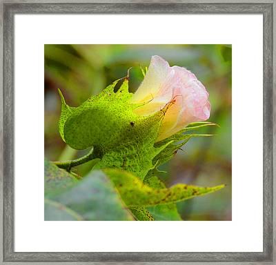 Cotton Flower Framed Print by Julie Cameron