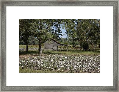 Cotton In Rural Alabama Framed Print