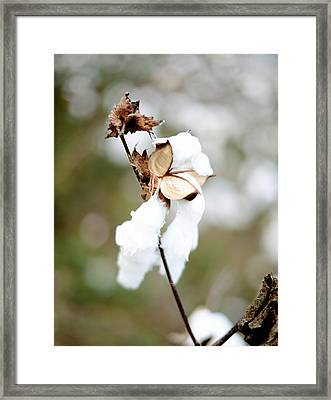 Framed Print featuring the photograph Cotton Picking by Linda Mishler