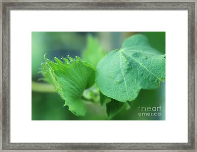 Cotton Plant Framed Print by Charline Xia