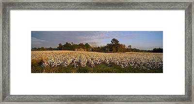 Cotton Plants In A Field, North Framed Print by Panoramic Images