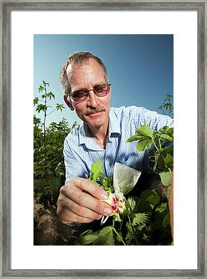 Cotton Pollination Research Framed Print