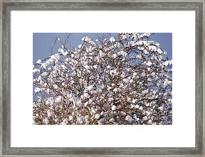Cotton Snow Framed Print