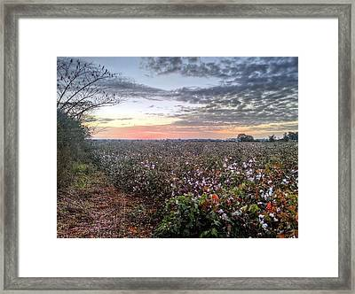 Cotton Sunrise  Framed Print by JC Findley