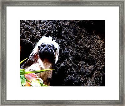 Cotton Top Tamarin Framed Print by Greg Patzer