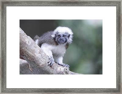 Cotton Top Tamarin  Framed Print