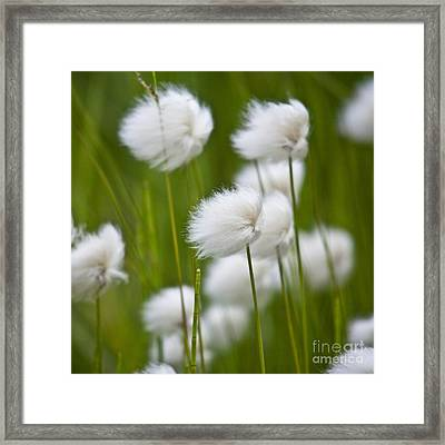 Cottonsedge Framed Print by Heiko Koehrer-Wagner