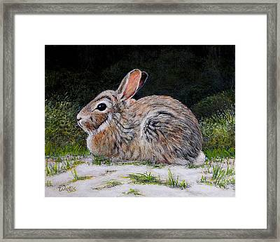 Cottontail Rabbit On The Riverbank Framed Print by Charles Wallis