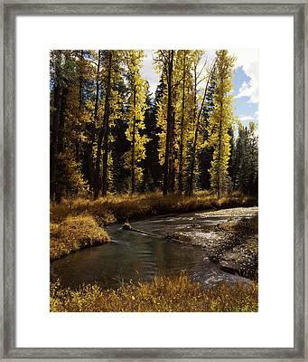 Cottonwood Trees Along Annie Creek Framed Print