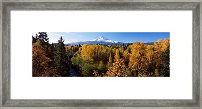 Cottonwood Trees In A Forest, Mt Hood Framed Print by Panoramic Images