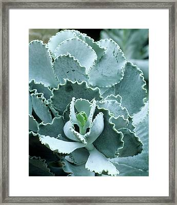 Cotyledon Undulata Foliage Framed Print by Andrew Cowin/science Photo Library