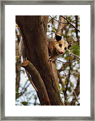 Coucou Framed Print by Nikolyn McDonald