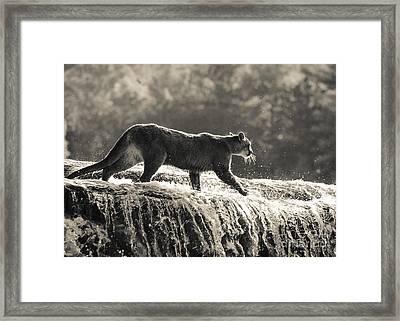 Cougar Crossing Framed Print