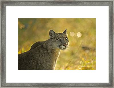 Cougar Felis Concolor Framed Print by Ron Sanford