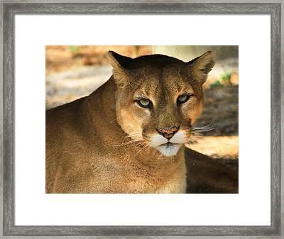 Cougar II Framed Print