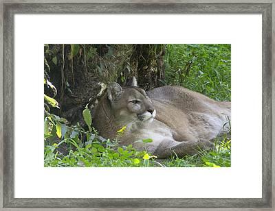 Cougar Framed Print by Jim Walker