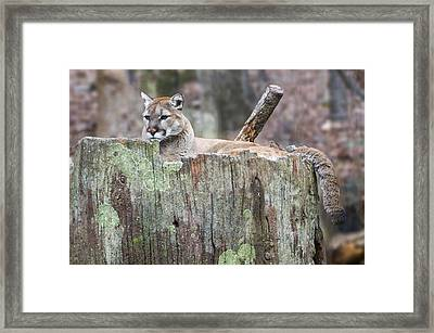 Cougar On A Stump Framed Print by Chris Flees