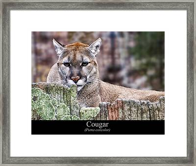 Cougar Resting On A Tree Stump Framed Print by Chris Flees