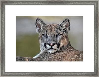 Framed Print featuring the photograph Cougar  by Savannah Gibbs