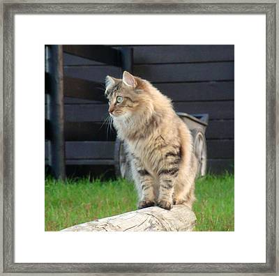 Framed Print featuring the photograph Cougar The Barn Cat 2 by Barbie Batson