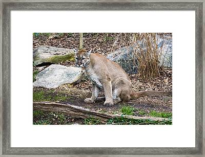 Cougar Watching Framed Print by Chris Flees