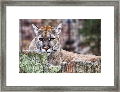 Cougars Stare Close Up Framed Print by Chris Flees