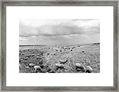 Counting Sheep  Framed Print by Juls Adams