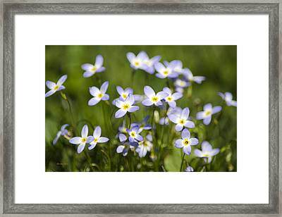 Country Bluet Flowers Framed Print