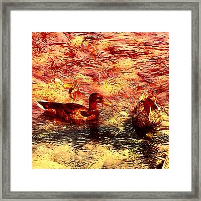 Couple Of Ducks Framed Print by Jason Michael Roust