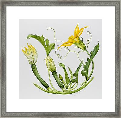 Courgettes Framed Print by Sally Crosthwaite