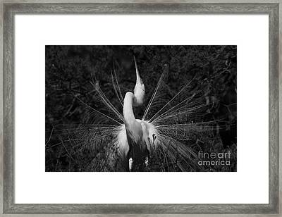 Framed Print featuring the photograph Great Egret Courtship Plumes  by John F Tsumas