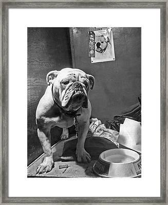 Cover Boy, The Winner Of The Bulldog Class Framed Print