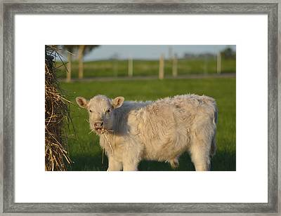 Framed Print featuring the photograph Cow 1 by Naomi Burgess