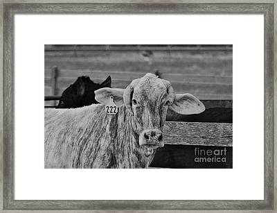Cow 222 Framed Print