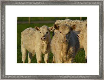 Framed Print featuring the photograph Cow 2 by Naomi Burgess