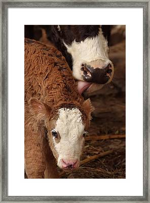 Cow And Calf Framed Print by Ioan Panaite