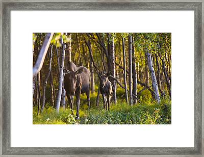Cow And Calf Moose In Birch Forest Framed Print
