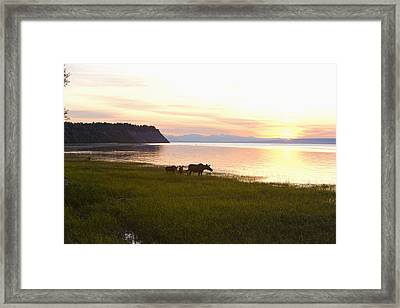 Cow And Two Calf Moose Feeding Along Framed Print