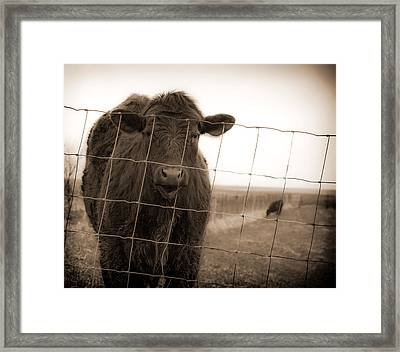 Cow At Fence In Sepia Framed Print
