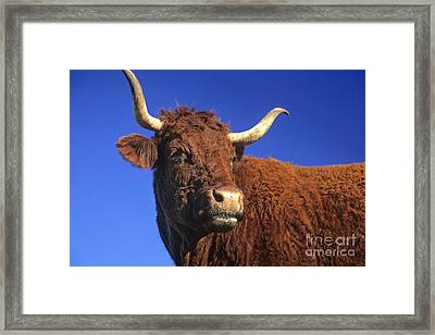 Cow Framed Print by Bernard Jaubert