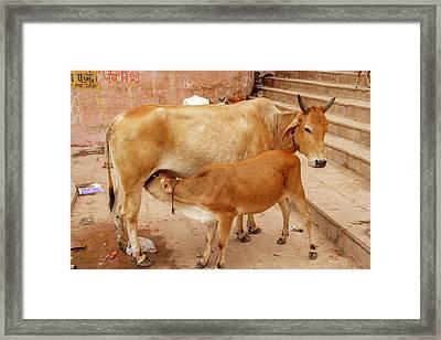 Cow Feeding Her Calf, Varanasi, India Framed Print by Ali Kabas