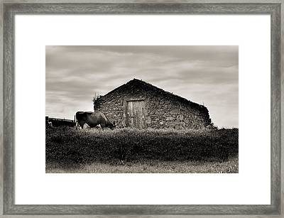 Cow Grazes At Rustic Barn  Framed Print