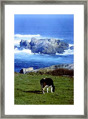Cow Grazing By The Ocean Framed Print