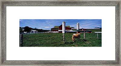 Cow Grazing In A Farm, Amish Country Framed Print