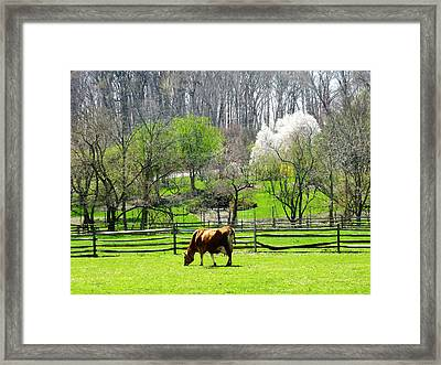 Cow Grazing In Pasture In Spring Framed Print by Susan Savad