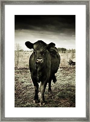 Cow In The Winter Pasture  Framed Print
