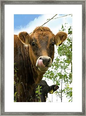 Cow Licking Its Nose Framed Print by David Aubrey