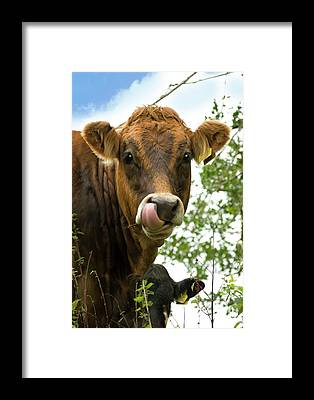 Bos Taurus Framed Prints