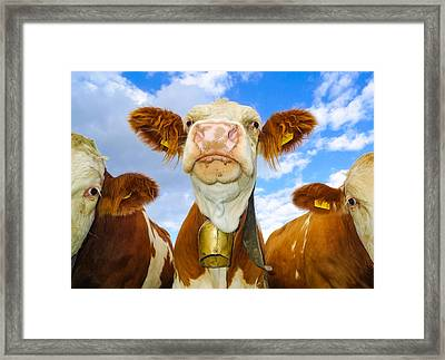 Cow Looking At You - Funny Animal Picture Framed Print