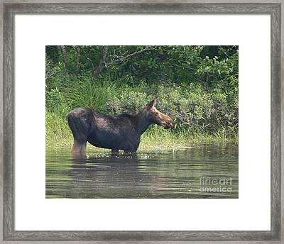 Cow Moose Breakfast Framed Print